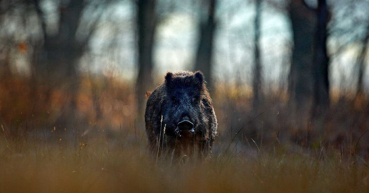 Wild Pig Hunts