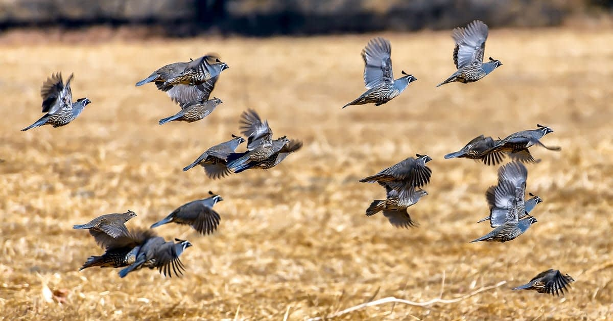 Upland Game Bird Hunts